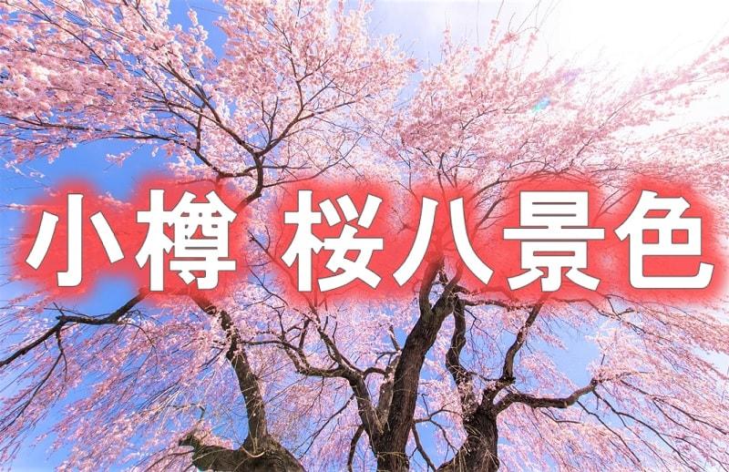 【小樽桜八景】厳選された名所・穴場を紹介!祭り