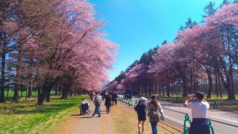 【新ひだか町】静内二十間道路桜並木