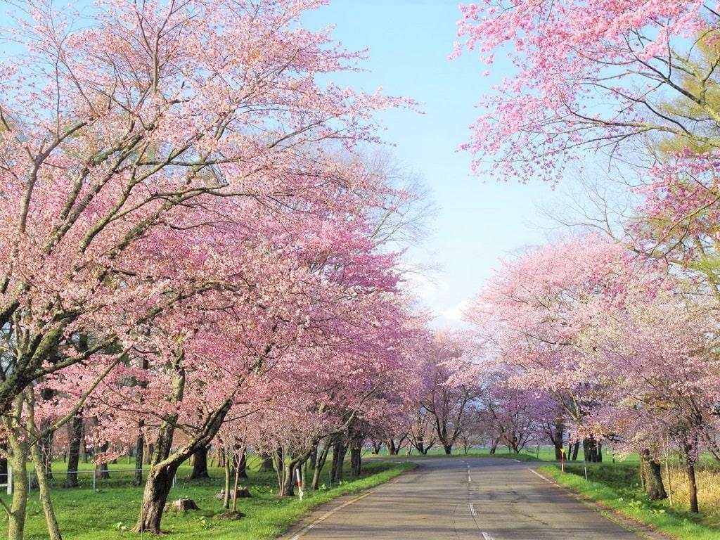 【優駿さくらロード】浦河桜まつりはいつ?静内に負けない桜に並木はライトアップも楽しめる!