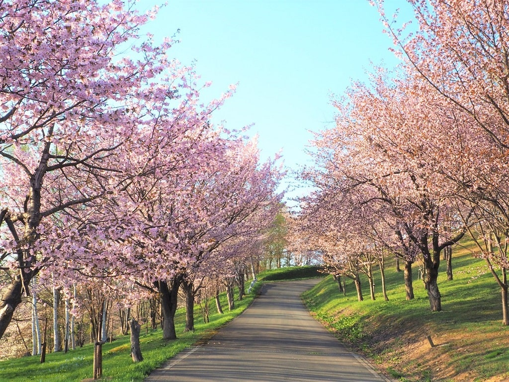 【芦別桜の名所】旭ケ丘公園の見どころやアクセス方法