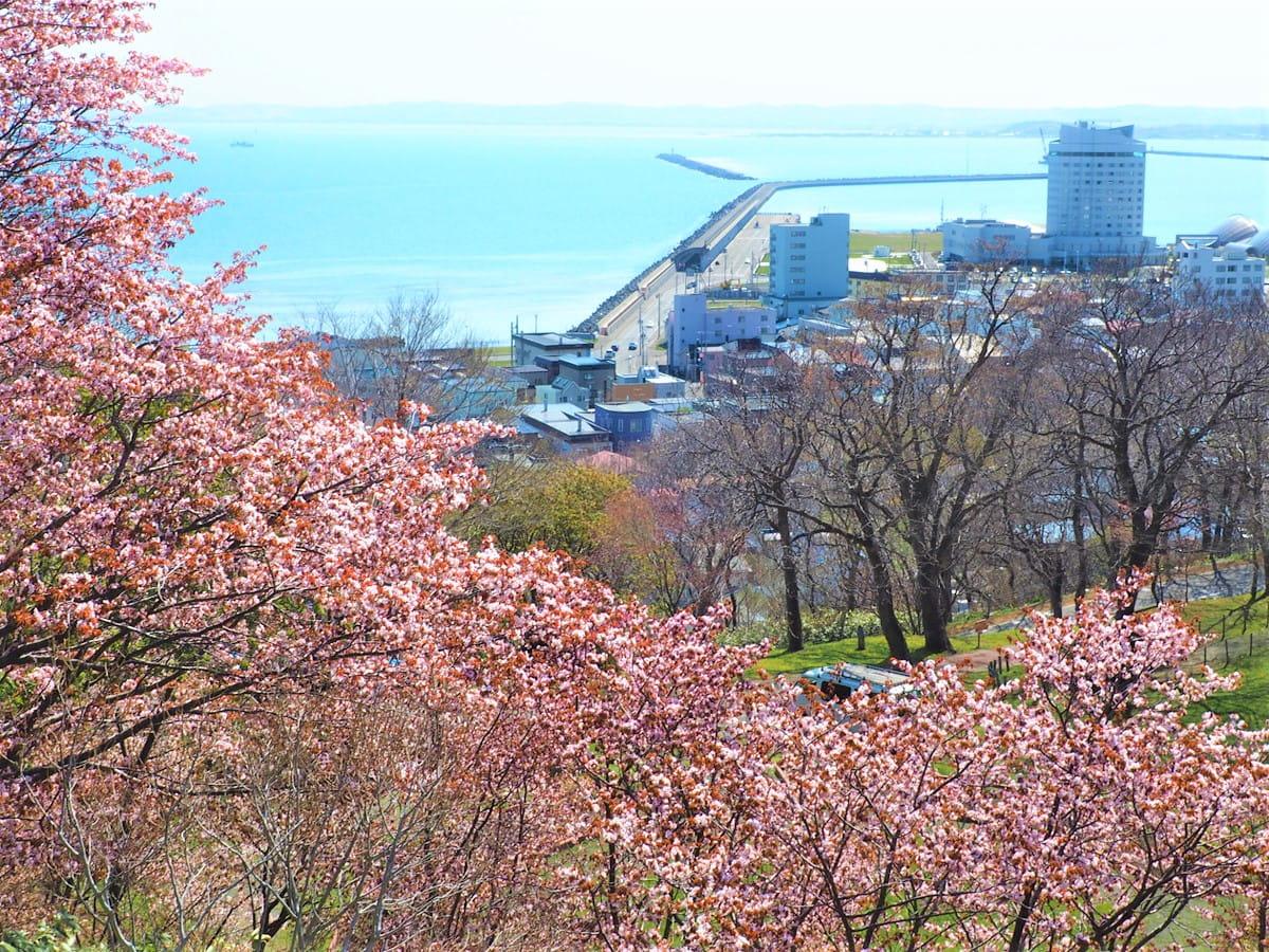 【稚内~留萌・桜の名所】オロロンラインに多数有り!日本最北の桜スポットほか隠れた穴場も紹介