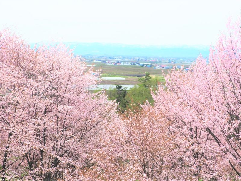 【旭川桜の名所】東川町キトウシ森林公園の見どころやアクセス方法は?旭山動物園に近い穴場?