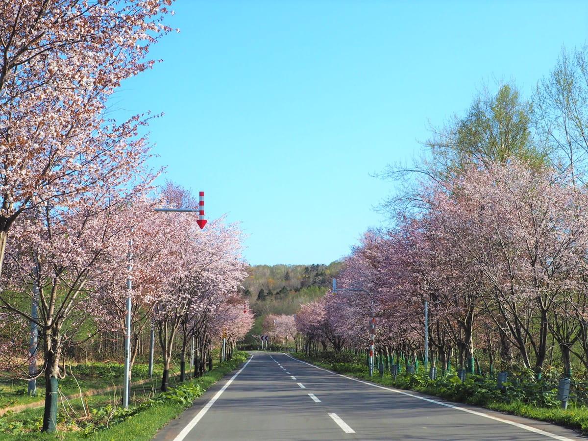 【有明桜ロード】オロロンラインにある超穴場桜名所!初山別村の絶品ふぐ料理もおすすめ