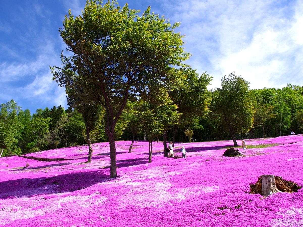 【オホーツク五大芝桜】日本一の規模を誇る芝桜