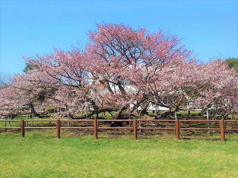 根室 桜の名所6選