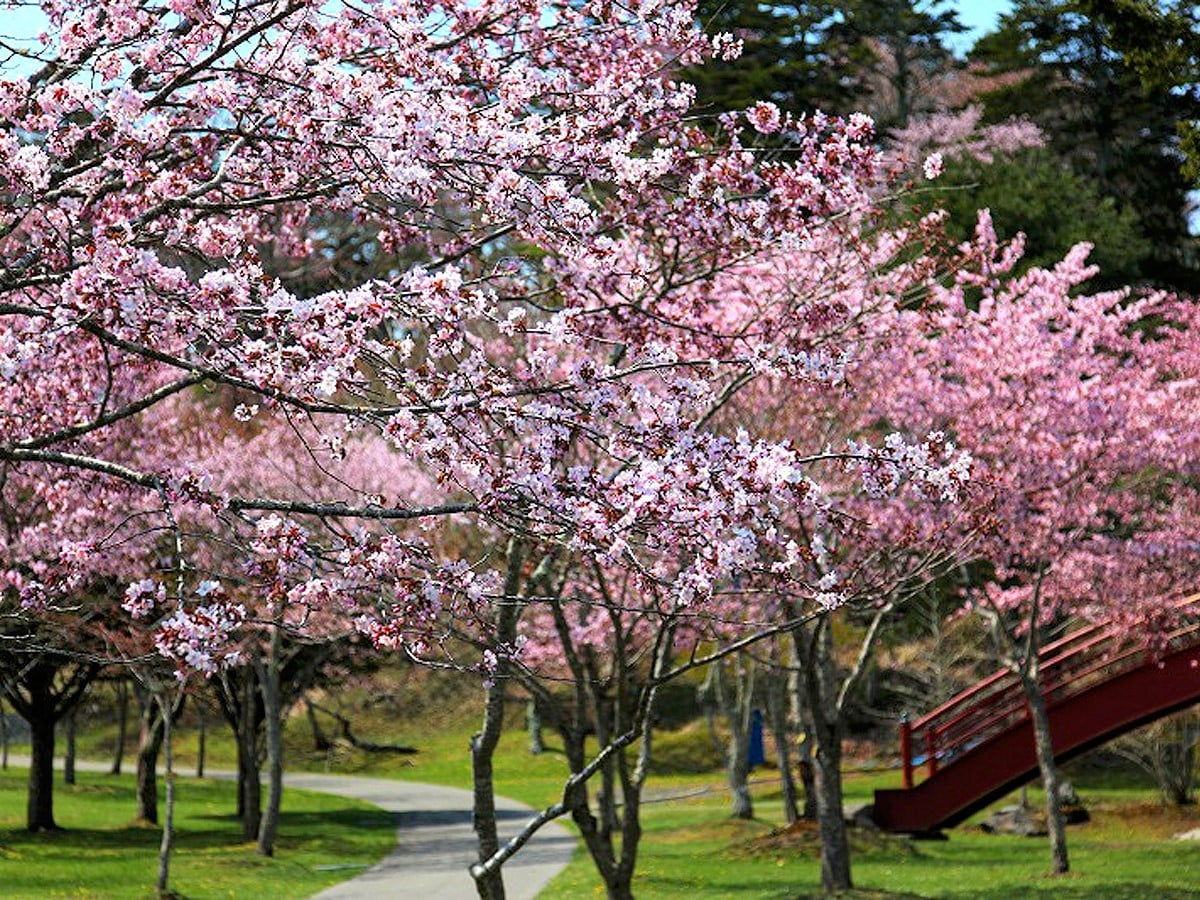 """【子野日公園】桜が見頃の頃に開催する""""あっけし桜・牡蠣まつり""""!"""